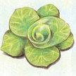 "Chicory: Grumolo Biondo ""Golden"" image"