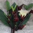Roselle: Jamaican Cocktail image