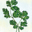Cilantro & Coriander: Large Seeded Coriander image