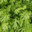 Mustard Greens: Mizuna Lime Streaks image