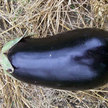 Eggplant: Early Black Egg image