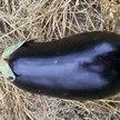 Eggplant: Early Black Egg image