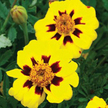 Marigold: Legion of Honor image
