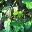 Bean, Yardlong / Asparagus: Purple Podded image