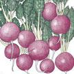 Radish: Pink Beauty image