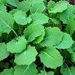 Kale: Hanover Salad (Spring) image