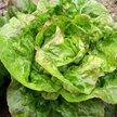 Lettuce: Schweitzer's Mescher Bibb image