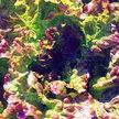 Lettuce: Drunken Woman image