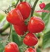Tomato: Tomatoberry Hybrid: Solanum lycopersicum 'Tomatoberry'  image