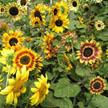 Sunflower: Kneehigh Music Box image