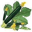 Squash, Summer: Raven Dark Green Zucchini image