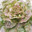 Lettuce: Speckled Bibb image