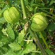 Tomatillo: Tomate Verde image