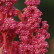 Amaranth: Quinoa (not Amaranth) image