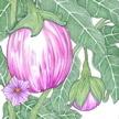 Eggplant: Rosa Bianca image
