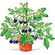 Eggplant: Little Prince image