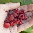 Raspberry: Shortcake image