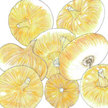Onion: Yellow Cipollini image
