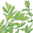 Parsley: Italian image