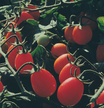 Tomato: Sweet Olive F1 Tomato image