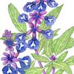 Sage: Blue image