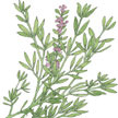 Thyme: English image