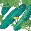 Cucumber: Marketmore 76 image