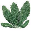 Kale: Renee's Garden Lacinato image