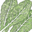 Mustard Greens: Tendergreen image