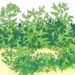 Mustard Greens: Mizuna image