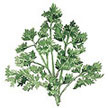 Parsley: Sweet Curly image