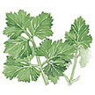 Parsley: Gigante Italian image