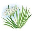 Chives: Garlic image