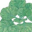 Mustard Greens: Tatsoi image
