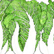 Cabbage: Napa Bilko image