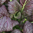 Mustard Greens: Japanese Giant Red image
