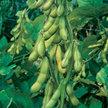 Bean, Edamame & Soybean: Butterbean image