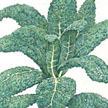 Kale: Lacinato image