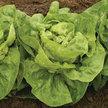 Lettuce: Adriana image