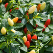 Peppers: Prairie Fire image