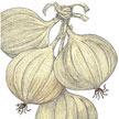 Onion: Walla Walla image