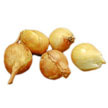 Shallot: Dutch Yellow image