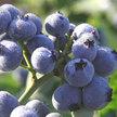 Blueberry: Cara's Choice image