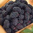Blackberry:  Black Magic Primocane image