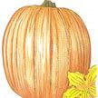 Pumpkin: Howden image