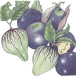 Tomatillo: Purple image