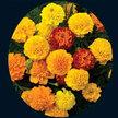 Marigold: Chrysanthemum image