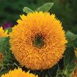 Sunflower: Tall Orange Sun image
