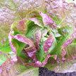 Lettuce: Sweet Valentine image
