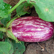 Eggplant: Listada de Gandia image